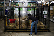 WASHINGTON, USA - August 19: A boy bends down to get a closer look at a pregnant cow at the Montgomery County Agricultural Fair in Gaithersburg, Md., USA on August 19, 2017. Livestock are often showcased at fairs and there are competitions for farmers and breeders to show off their animals.