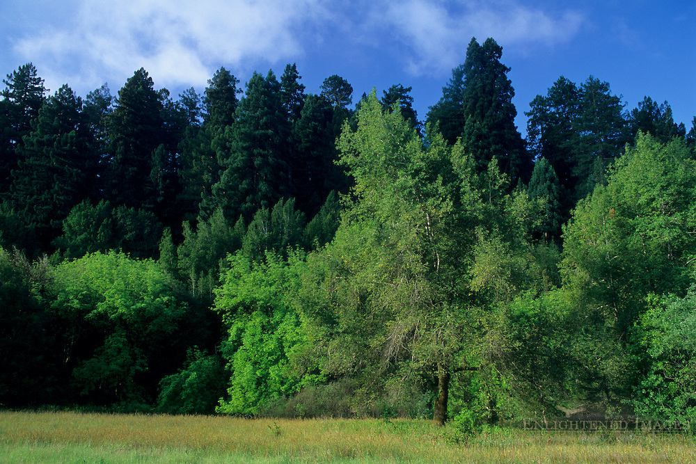 Trees and Meadow in morning light, Hendy Woods State Park, near Philo, Mendocino County, California