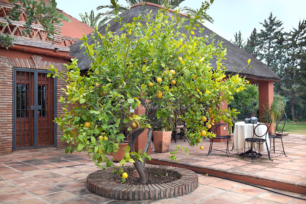 Raised bed on the patio planted with a Citrus sp (lemon) tree. Finca Vida