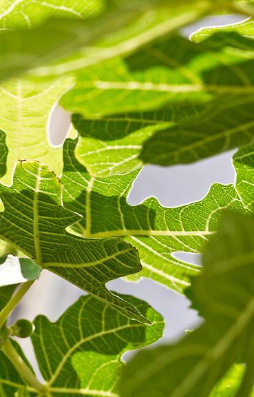 Fig, Brooklyn Grange 6/6/11 Brooklyn Grange