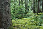 Western Hemlock Forest near Longmire Meadows.