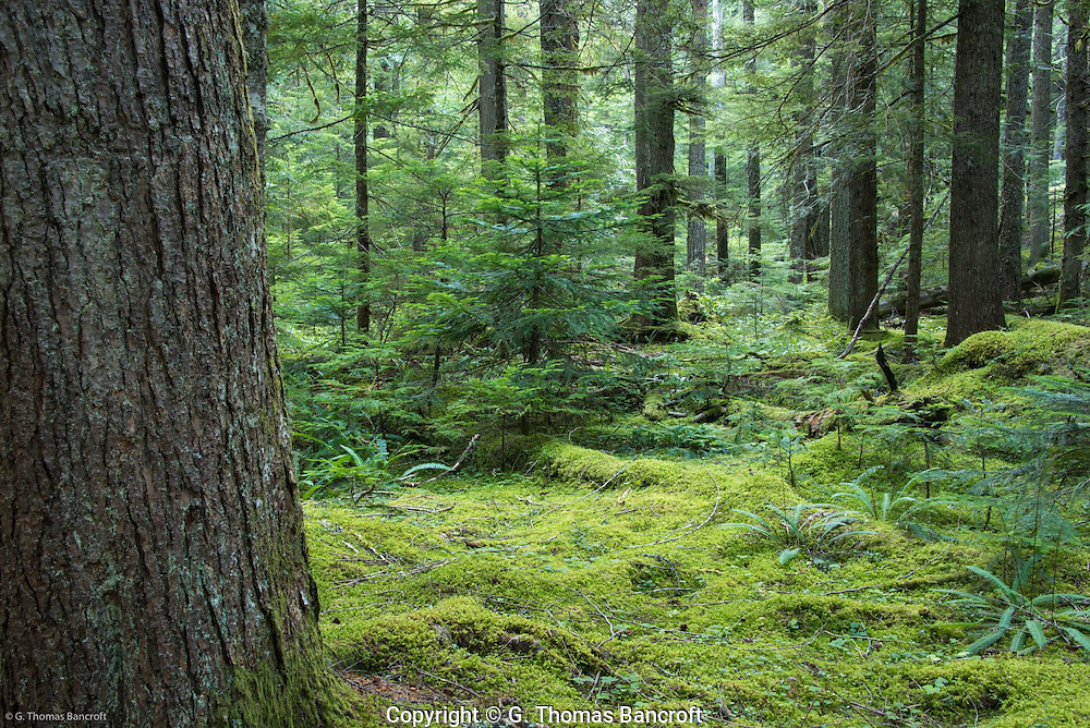 Western Hemlock Forest near Longmire Meadows.