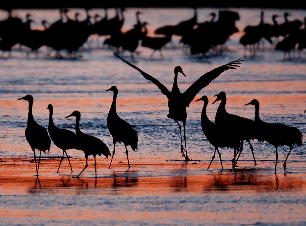 Sandhill Cranes gather on the sandbars of the Platte River in Nebraska just after sunset during their annual migration north.