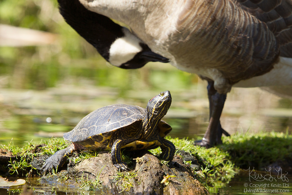 A red-eared slider (Trachemys scripta elegans) rests on a log in a small inlet in the Washington Park Arboretum in Seattle, Washington as a Canada goose preens itself nearby.