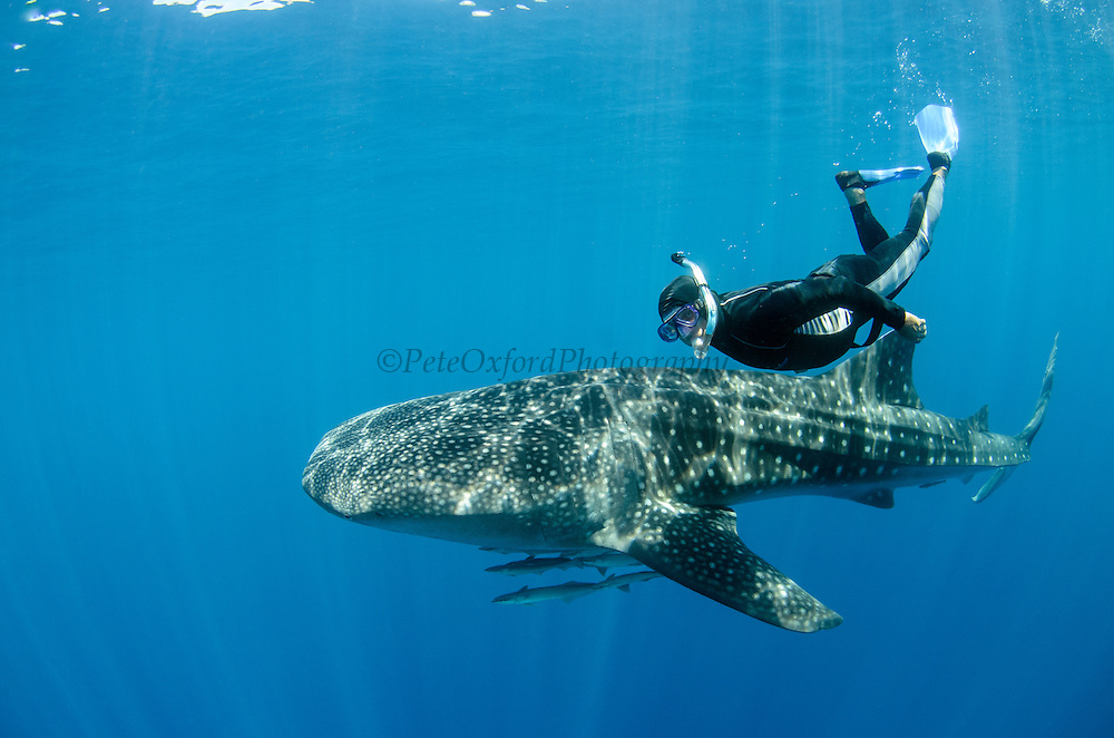 Whale Shark (Rhincodon typus) &amp; tourist<br /> Cenderawasih Bay<br /> West Papua<br /> Indonesia