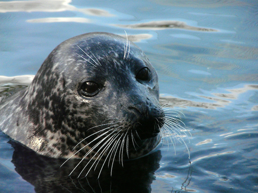 EN&gt; A Harbour seal resting in the water |<br /> SP&gt; Una foca com&uacute;n descansando en el agua
