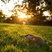 September 27, 2017 - New York, NY : A groundhog patrols a lawn at Sunset in Fort Tryon Park in upper Manhattan on a late summer evening. CREDIT: KARSTEN MORAN / REDUX PICTURES