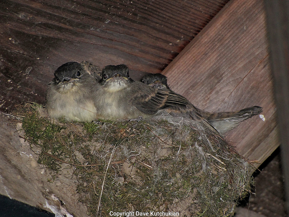 young phoebees in a nest under the eve of my shed.  the next day they left the nest at the behest of their mother in the nearby woods, calling