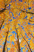 Trembling aspen (Populus tremuloides) forest in autumn colors<br /> Prince Albert National Park<br /> Saskatchewan<br /> Canada