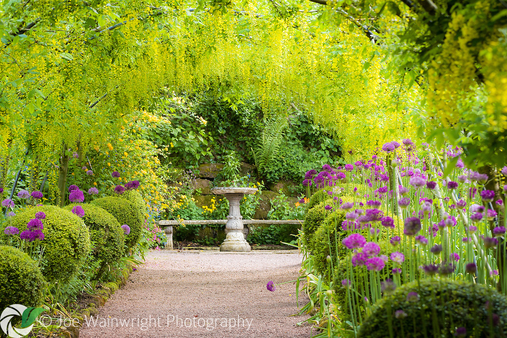 The purple of alliums combines with the yellow of the Laburnum Arch, at Dorothy Clive Garden, Staffordshire.