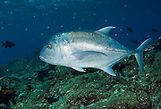 Giant Trevally (Caranx ignobilis) in Komodo National Park, Indonesia