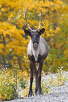 Mountain caribou along the Alaska Highway in northern British Columbia, Stone Mountain Provincial Park, BC, Canada