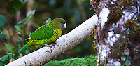 Brehm's Tiger Parrot, (Psittacella brehmii), Enga Province, Papua New Guinea highlands.