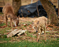 Scrubby, Scruffy Yearling Deer. Image taken with a Nikon D4 camera and 600 mm f/4 VR lens (ISO 280, 600 mm, f/4, 1/400 sec).