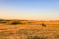 John Zeman follows GSP Liza during a Montana sharptail prairie grouse hunt.