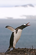 Gentoo penguin throws back its wing and lets out a call.
