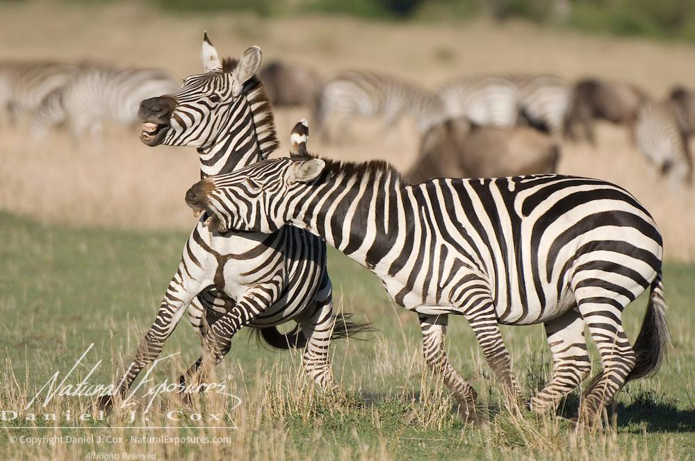 Common Zebra (Equus quagga) fighting. Masai Mara National Park, Kenya, Africa