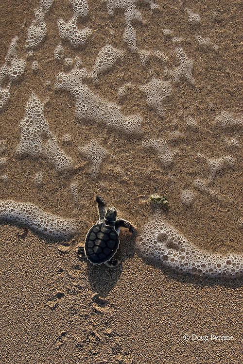 Australian flatback sea turtle hatchling plunges into ocean at nesting beach, Natator depressus, Kerr Island, Torres Strait, Queensland, Australia