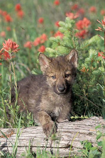 Gray Wolf, (Canis lupus) Pup in field of blooming Red Indian Paintbrush flowers. Southwest Montana. Spring. Captive Animal.