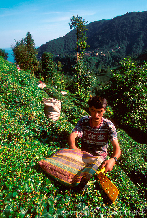 TURKEY, AGRICULTURE picking tea in steep terraced fields along the coast of the Black Sea near Rize; Turkey's main tea producing area
