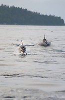 A pod of dolphins swim and jump beside the boat in the early morning hours, in Discovery Passage off the coast of Campbell River, BC Canada