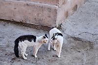 Ouzbekistan, Khiva, patrimoine mondial de l UNESCO, chat des rues // Uzbekistan, Khiva, Unesco World Heritage, street cat