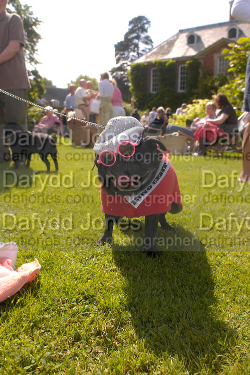 fancy Dress prizewinner: Scamps dressed as Michael Jackson. Pug Dog club Tea party held at Cottesbrook Hall.  ( home of  Mr. and Mrs. Alastair Macdonald-Buchanan ) 26 June 2005. . ONE TIME USE ONLY - DO NOT ARCHIVE  © Copyright Photograph by Dafydd Jones 66 Stockwell Park Rd. London SW9 0DA Tel 020 7733 0108 www.dafjones.com
