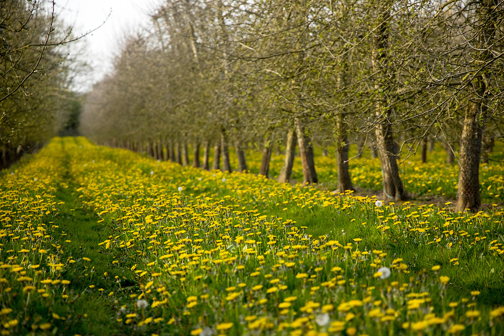Springtime dandelion flowers growing amid cider orchard rows near Eardisley, Herefordshire, United Kingdom