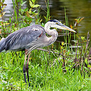 Great Blue Heron, Everglades Florida