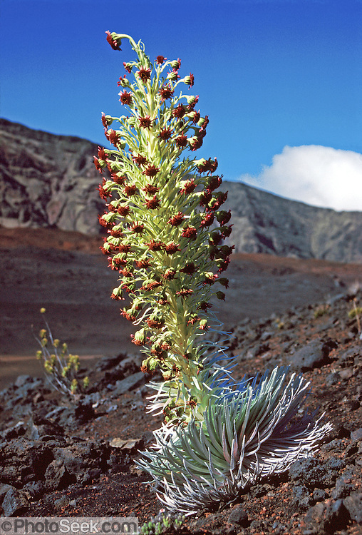 "A rare silversword plant (Argyroxiphium genus) blooms in Haleakala National Park, Maui, State of Hawaii, USA. Published in ""Light Travel: Photography on the Go"" book by Tom Dempsey 2009, 2010."