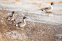 Spring in Utah has the Northern Pintail stop by as the waterways open up and makes way for the breeding season.