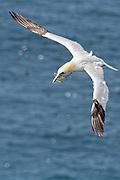 Northern Gannet - Morus bassanus in flight carrying nesting material