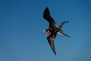 Great Frigate Bird (Fregata minor ridgwayi) in Flight<br /> North Seymour<br /> Galapagos<br /> Ecuador, South America