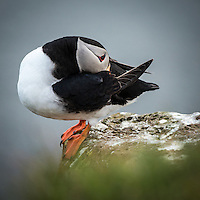 Atlantic Puffin at Látrabjarg bird cliff, West fiords of Iceland.