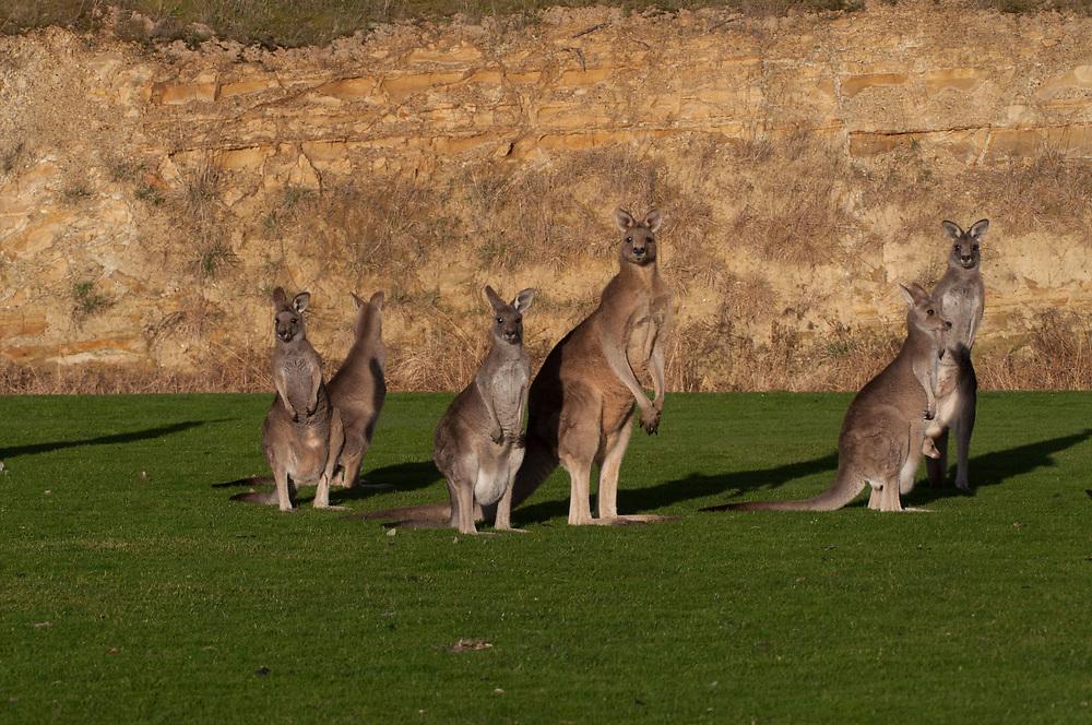 Eastern Grey Kangaroos (Macropus giganteus), Eltham College Environmental Reserve, Research, Victoria, Australia, US
