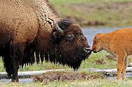 Young bison calves are reddish brown in color. At about two months of age, the calf begins to develop a shoulder hump and horns and also begins to turn dark brown. At four months, calves are entirely brown and more closely resemble their mother.This young calf reunites with his mother after crossing the Madison River in Yellowstone National Park.