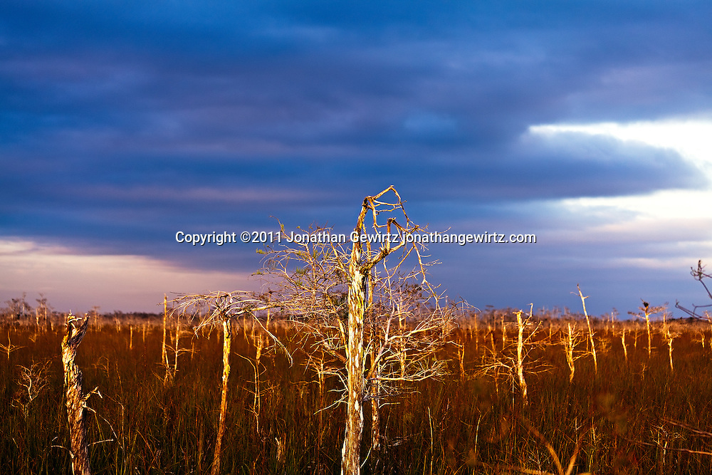 Dwarf Cypress forest in Everglades National Park, Florida. WATERMARKS WILL NOT APPEAR ON PRINTS OR LICENSED IMAGES.<br />