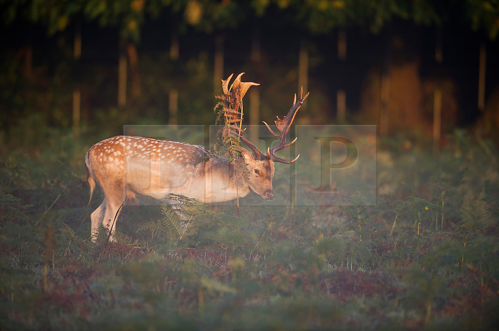 © London News Pictures. 06/10/2013. Richmond, London, UK.  A deer stag amongst autumn colours at sunrise in Richmond Park, West London. The UK is experiencing an unusually warm start to the Autumn with temperatures reaching 20 degrees in parts.  Photo credit: Ben Cawthra/LNP