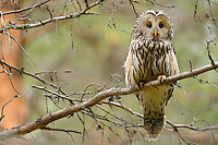 Ural owl, Strix uralensis, at breeding site, Greater Laponia rewilding area, Lapland, Norrbotten, Sweden