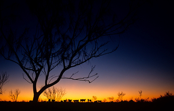 silhouette of cattle standing at the horizon at sunrise