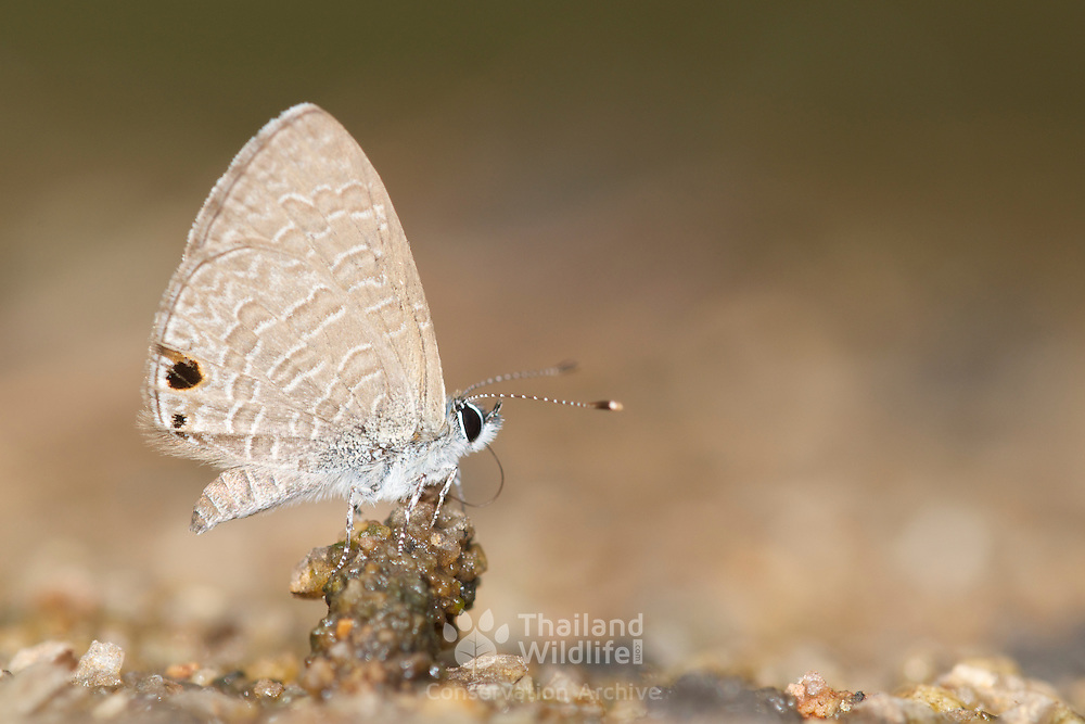 The Tailless Lineblue Butterfly, Prosotas dubiosa indica, in Chaloem Phrakiat Thai Prachan National Park