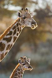 Profile of the heads of a giraffe and her calf ( Giraffa camelopardalis), Kalahari Desert, South Africa
