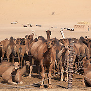 Camels in a village pen in the Karakum Desert, Turkmenistan