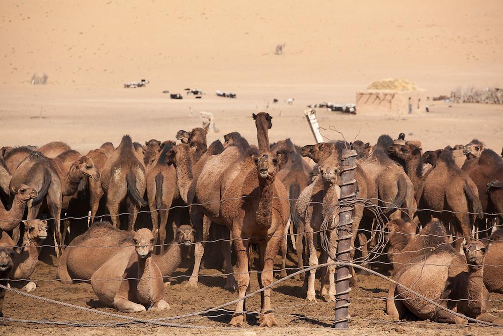 Camels in a village pen in the Karakum Desert, Turkmenistan