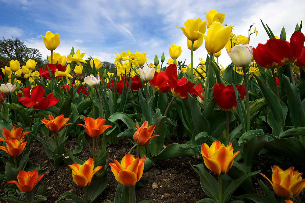 Monet's Colorful Flowers mainly consists of tulips but a few daffodils are in the mix.  Claude Monet's personal garden is located at his home in Giverny, France.