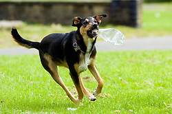 Young playful Black and Tan juvenile mongrel dog plays with a discarded plastic bottle found in the park  <br />