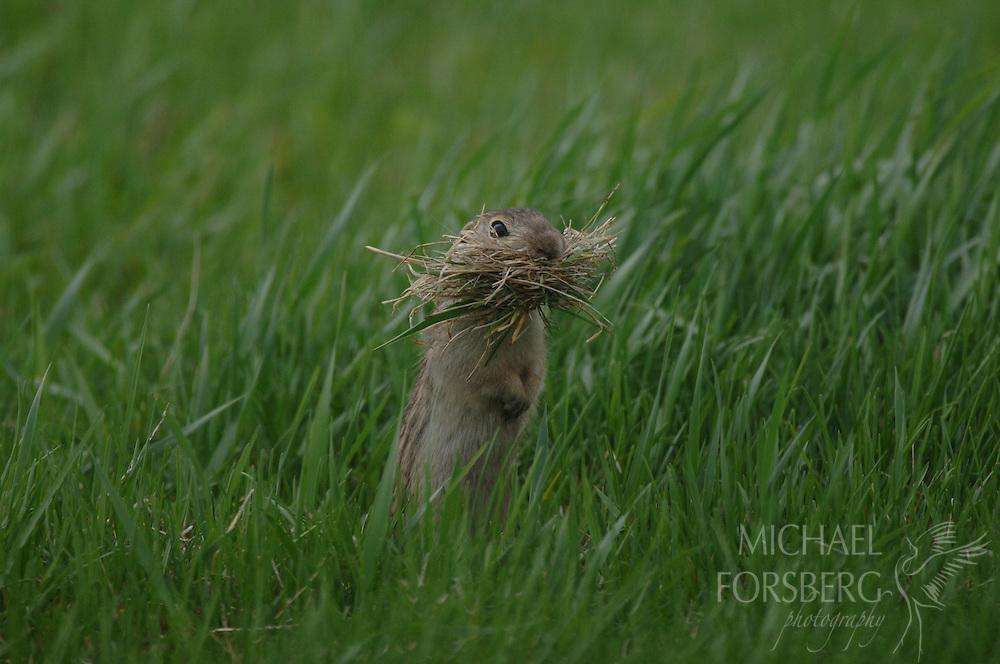 Prairie pothole region - Missouri coteau..A Thirteen-lined ground squirrel gathers dead grass to line its nest in an underground burrow.. .Stutsman County North Dakota