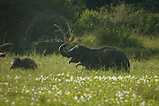 Elephants feeding on reeds in tank bed, Wasgomuwa, Sri Lanka