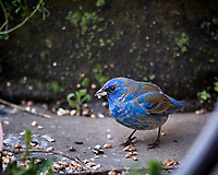 Male Indigo Bunting. Image taken with a Nikon D5 camera and 600 mm f/4 VR lens (ISO 200, 600 mm, f/4, 1/500 sec).