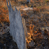 Magnetic termite mounds (possibly Amitermes sp.), aligned to avoid the intense heat of the summer sun. Queensland, Australia.